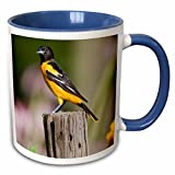 3dRose Danita Delimont - Birds - Baltimore Oriole female in flower garden Marion, Illinois, USA. - 11oz Two-Tone Blue Mug (mug_207600_6)