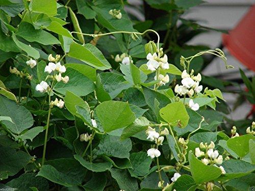 Hyacinth BEAN VINE ~ 25 Seeds WHITE,Great for Trellis, -Beautiful - Grow Hyacinth Bulb