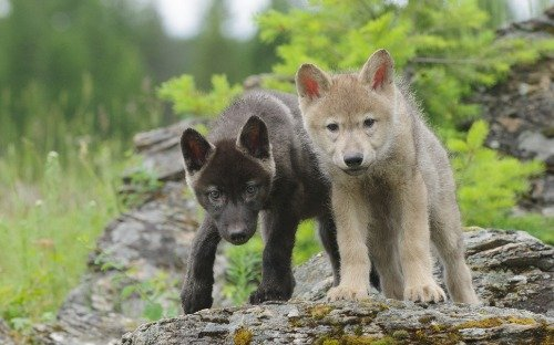 WOLF PUPS GLOSSY POSTER PICTURE PHOTO wall decor wolves timberwolves