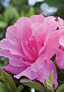 Amazon 1 gallon potters purple butterfly bush attractive 1 gallon encore azalea autumn carnation blooms in spring summer and fall with hot mightylinksfo