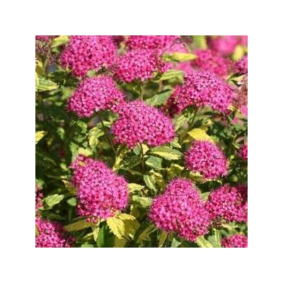 Spiraea-Double-Play-Painted-Lady - QT Pot (Shrub) : Garden & Outdoor