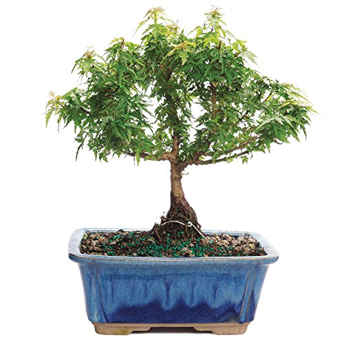 Brussel's Bonsai DT0613KHM Acer palmatum 'Koto Hime' Brussel's Live Kotohime Maple Outdoor Bonsai Tree - 6