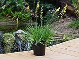 PlantVine Bulbine frutescens, Bulbine fruticosa, Desert Candles - Medium - 6 Inch Pot (1 Gallon), 4 Pack, Live Plant