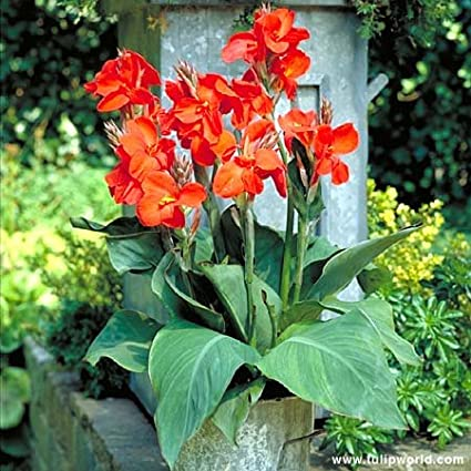 Canna Lily Bulbs Perennials The President Red Flowers Tropical Resistant Plant