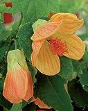Abutilon Tangerine Live Perennials Plant Fit 1 Gallon Pot