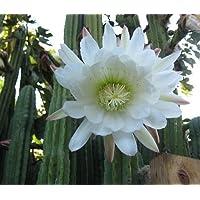 Trichocereus pachanoi - cactus de San Pedro - 100 semillas