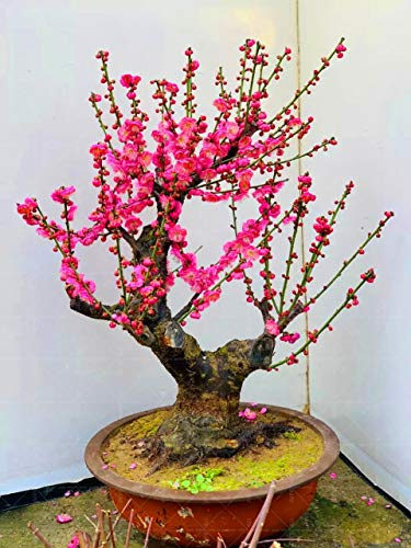 Seed 10 Pcs Plum Blossom Bonsai Pink Flower Bonsai Tree Perennial Indoor Flowering Potted Plants for Home Plants Planting ()