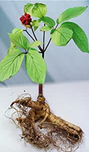 Now is the Time to Sow Ginseng-FREE Shipping 25+ American Ginseng Seeds - Stratified - grow your own ginseng-By Seeds and Things-Instructions Included
