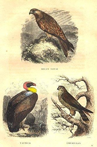 BIRDS. Kite, Vulture, Swivel - 1873 - old print - antique print - vintage print - Italy art (Reach Swivel)