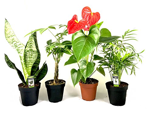 """Live Indoor Plants Four Pack Assortment in 4"""" Pots Best Clean Air Plants for Your House or Office Lush Green Foliage - Some with Flowers, Money Tree, Bamboo Palm, Pothos and more Varieties of Plants by Planted Living"""