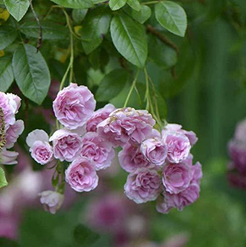 - Plant 7 Sisters Pink Rose Bush Heirloom Climbing Baby Rambler Multiflora Tknola