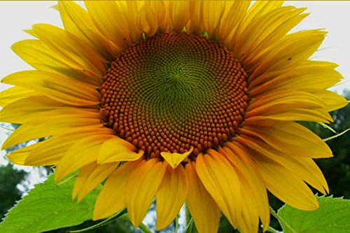 Mammoth Grey Stripe Sunflower - 30 Seeds! Comb.S/H! See Our Store! -