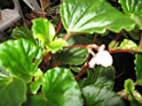 Begonia grandis the cold hardy begonia pink flowers live potted plant