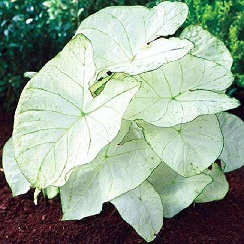 Caladium Florida Moonlight (3 Bulbs) Bright white foliage with pale green veins Now Shipping ()