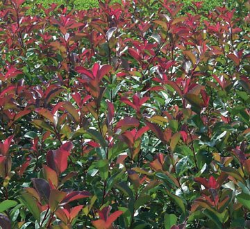Red-Tipped Photinia, 1 GAL 18 inches Tall