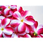100-Hot-Pink-White-Hawaiian-Plumeria-Frangipani-Silk-Flower-Heads-3-Artificial-Flowers-Head-Fabric-Floral-Supplies-Wholesale-Lot-for-Wedding-Flowers-Accessories-Make-Bridal-Hair-Clips-Headbands-Dress