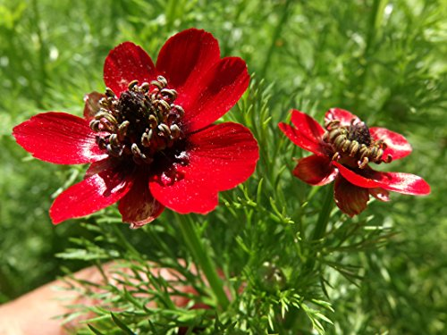 Single-flowered Bright Red Adonis (Pheasant's Eye) Flower 300 Seeds