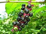 10 Seeds Phytolacca rivinoides Venezuelan Pokeweed
