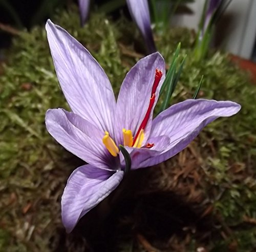 Crocus sativus  Echter Safran  (100 XXL-Zwiebeln 8/+)