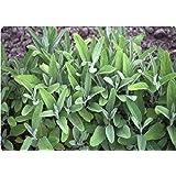 Just Seed Herb - Sage - Salvia officinalis (blue) - 200 seeds