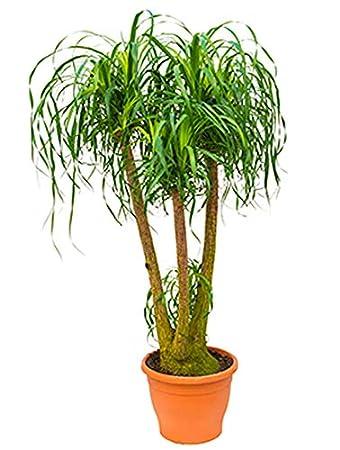 Elefantenfuß 20-25 cm beliebte Zimmerpflanze für sonnigen ...