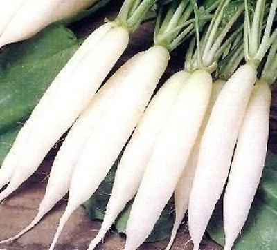 100 White Icicle Radish Seeds