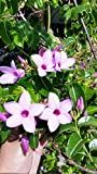 Cryptostegia grandiflora, rare rubber vine purple allamanda flower 20 FRESH SEED