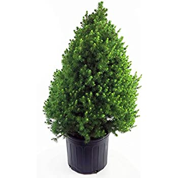 Picea Glauca Conica Dwarf Alberta Spruce Evergreen 3 Size Container
