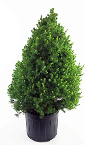 Picea glauca 'Conica' (Dwarf Alberta Spruce) Evergreen, 2 - Size Container by Green Promise Farms