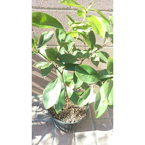 Grumichama Brazilian Cherry Tropical Fruit Trees 30-36 Inch Height in 3 Gallon Pot #BS1 by iniloplant (Image #2)