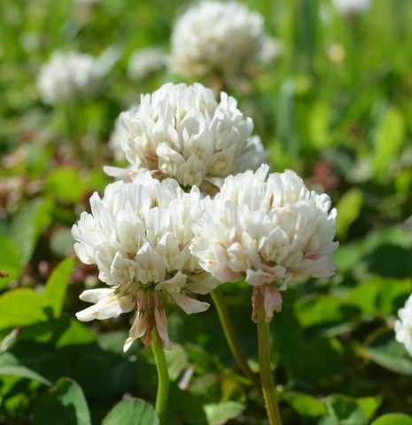 White Dutch Clover - SeedRanch White Dutch Clover Seed: Nitro-Coated and Inoculated - 2 Lbs.