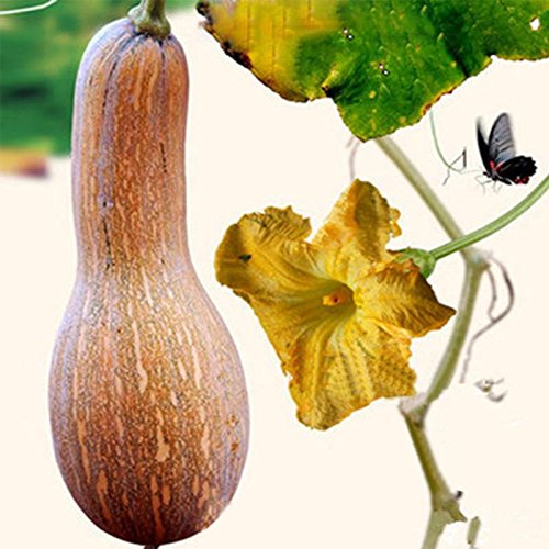 super sweet bonsai plants pumpkin seeds for home and garden Vegetable and fruit pumpkin seeds 10g/bag pumpkin seed -Pier 27