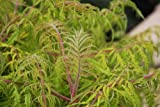 Sumac Tiger Eyes > Rhus typhina 'Baitiger' >Landscape Ready 2 gallon Container