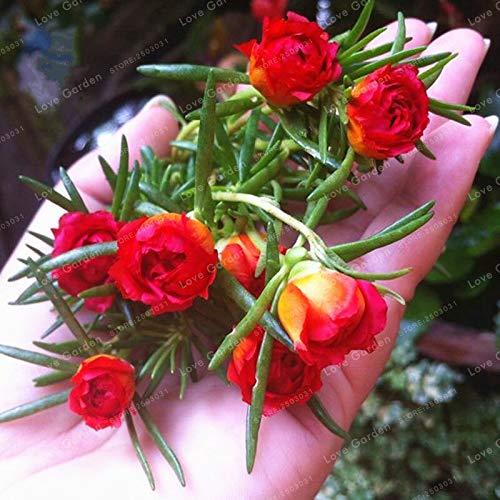 Best Summer Flower -Portulaca Grandiflora