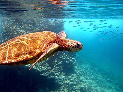 Hawaiian Green Sea Turtle (honu) swimming underwater w/ fish at Shark's Cove, North Shore, Oahu, Hawaii print picture photo photograph fine art by Mike Krzywonski Photography