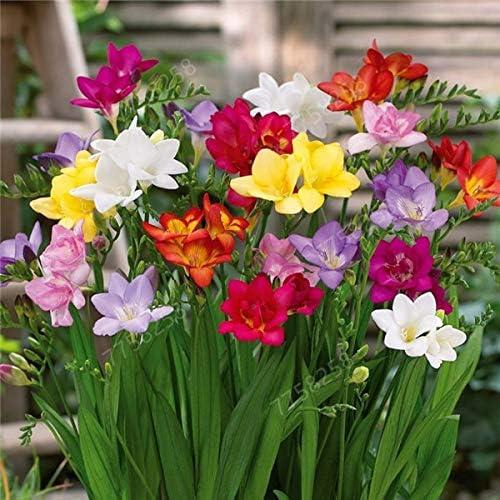 Seed ONLY New 100pcs//bag Freesia Garden,Freesia Bulbs Flower Freesia Bonsai Flower Bulbs Flowers Orchid Freesia Rhizome Bulbous Flowers Blue