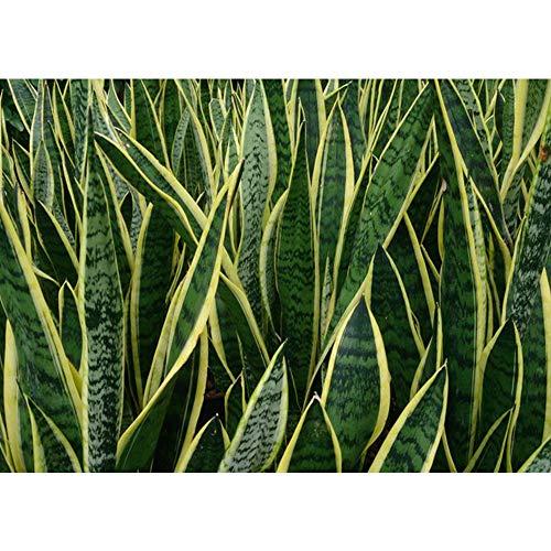 AMERICAN PLANT EXCHANGE Sansevieria Trifasciata Laurentii Live Plant 3 Gallon Top Indoor Air Purifier by AMERICAN PLANT EXCHANGE (Image #1)