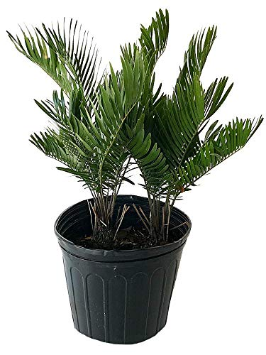 PlantVine Zamia pumila, Zamia floridana, Coontie - Large - 8-10 Inch Pot (3 Gallon), Live Plant - 4 Pack by PlantVine (Image #1)