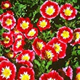 Outsidepride Morning Glory Ensign Red - 1000 Seeds