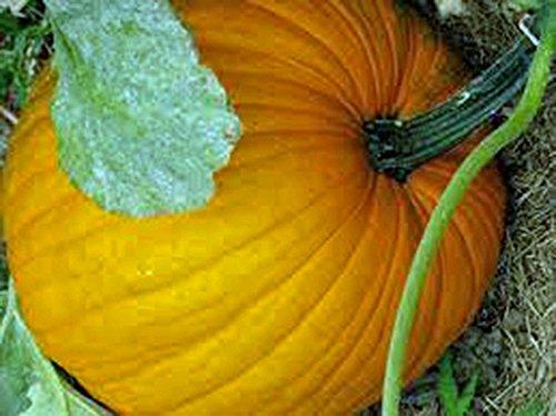 Pumpkin Field - Pumpkin Seed, Connecticut Field, Heirloom, Organic, Nongmo, 20+ Seeds, Pumpkins