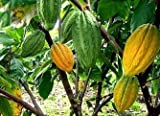New and Healthy Theobroma Cacao Cocoa Chocolate Fruit Tree - TRINITARIO - Potted Plant Yellow Green