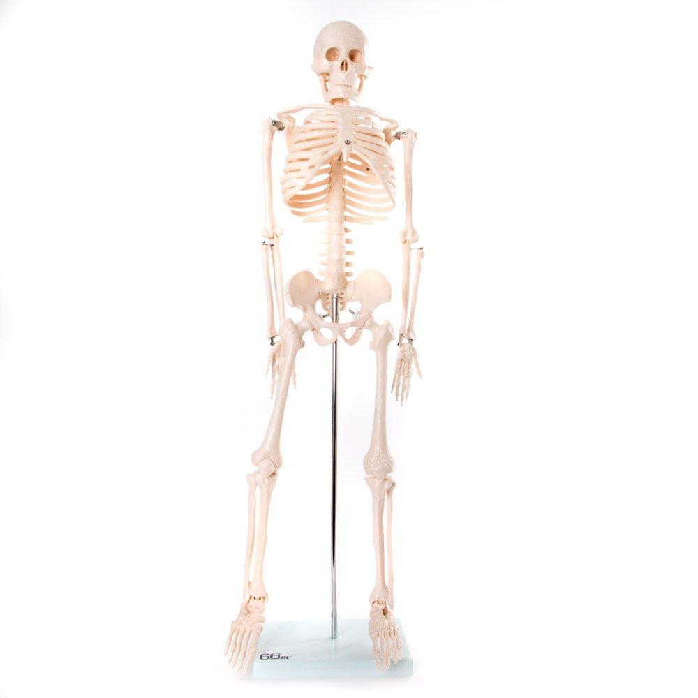 66fit menschliches Skelett-Modell mit Ständer (85cm), Lehrskelett ...