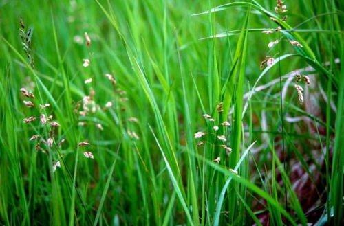 Sweet Grass For Cats - Hierochloe oderata - Sacred - 4' Pot