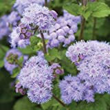 Tall Blue Planet Ageratum Seeds (Ageratum houstonianum) 20+ Rare Seeds + FREE Bonus 6 Variety Seed Pack - a $29.95 Value! Packed in FROZEN SEED CAPSULES for Growing Seeds Now or Saving Seeds For Years