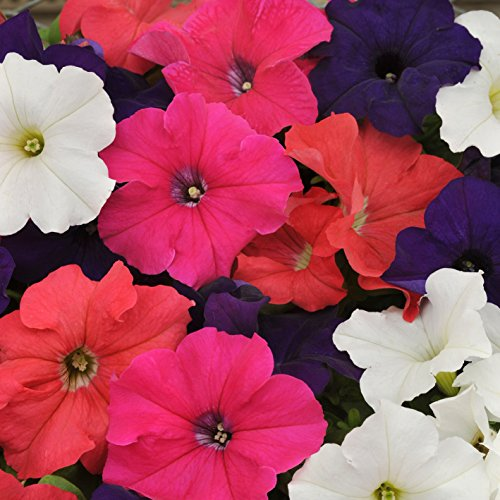 Outsidepride Petunia Hybrida Seed Mix - 5000 Seeds