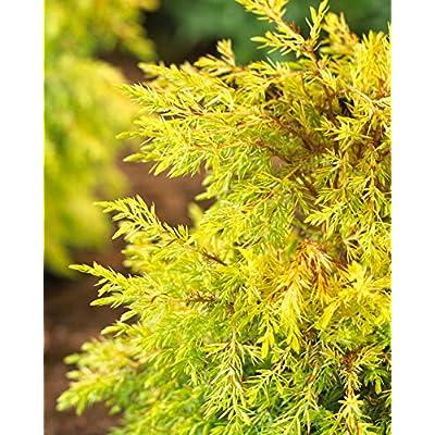 (1 Gallon) All Gold Juniper is a groundcover That Forms a mat of Soft Golden Foliage. : Garden & Outdoor