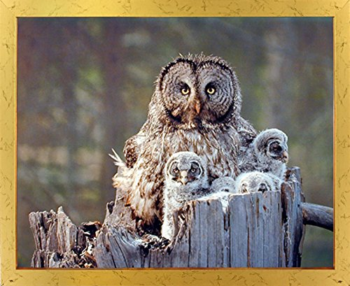 Impact Posters Gallery Framed Wall Decor Great Grey Owl Family Bird Wildlife Animal Golden Picture Art Print