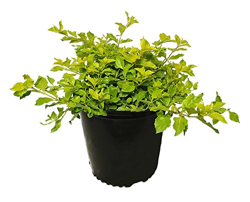 AMERICAN PLANT EXCHANGE Duranta Gold Mound Live Plant, 3 Gallon, Green