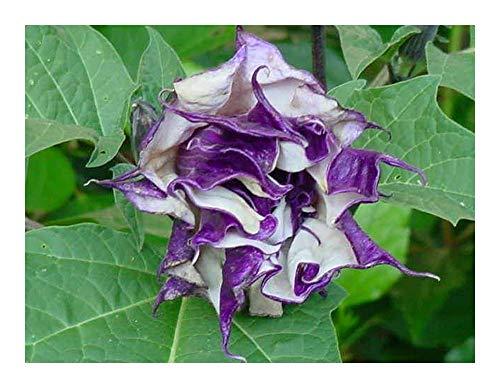 (Exotic Plants Datura metel purple - angels trumpet - 15 seeds)