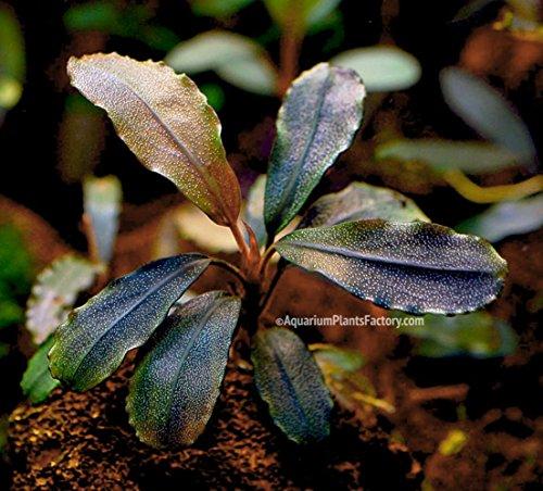 Picture of AquariumPlantsFactory - Bucephalandra Red Mini (Loose Rhizome) Freshwater Live Aquarium Plants